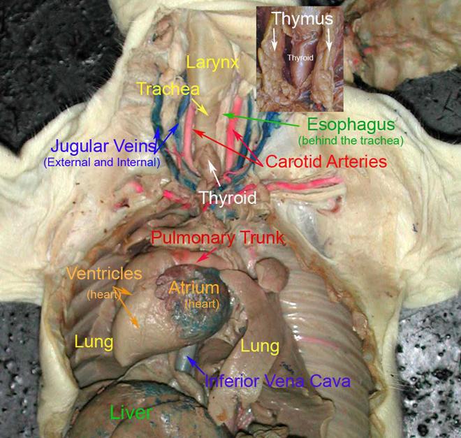 Biology Histology  U0026 Anatomy Of Fetal Pig